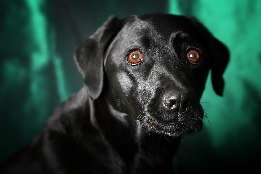Photo: D'Arcy - Black Labrador Retriever