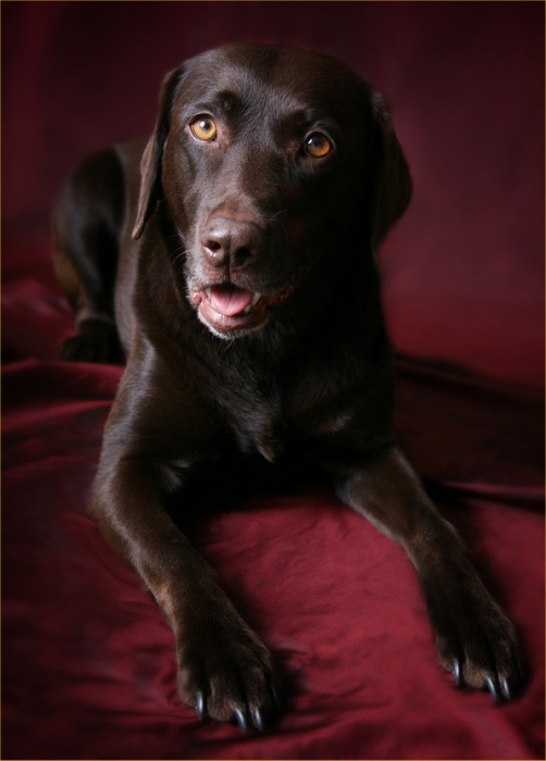 Photo: Emma - Chocolate Labrador Retriever