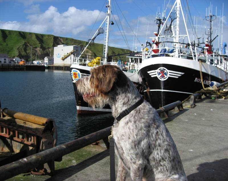 Photo: German Wire-Haired Pointer At Scrabster
