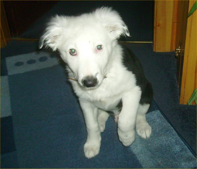 Photo: Kian - Border Collie - 12 Weeks Old
