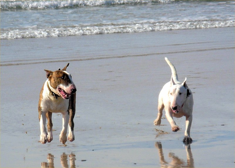 Photo: Zain And Jazz - English Bull Terriers At Dunnet Beach