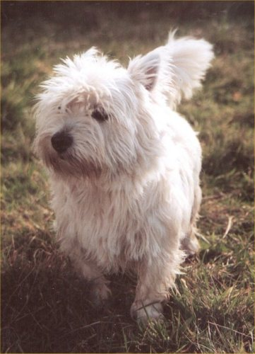 Photo: Creagan - A Westie Missing Since August 2005