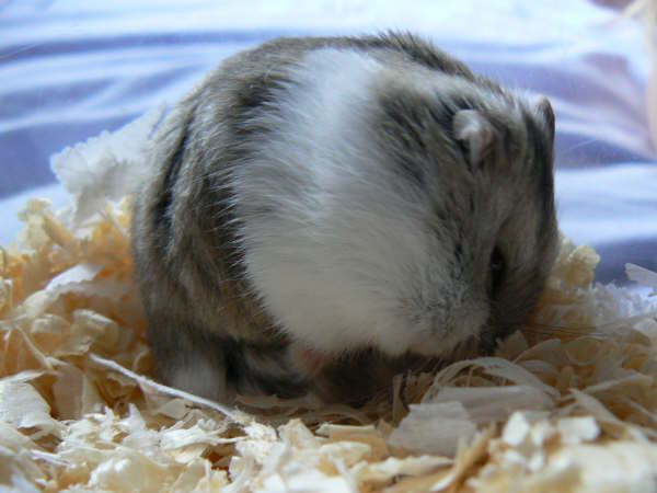 Photo: Biscuit - Dwarf Hamster