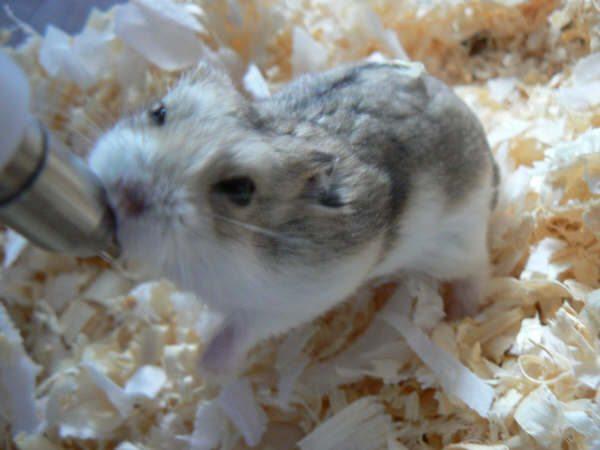 Photo: Scampy - Dwarf Hamster