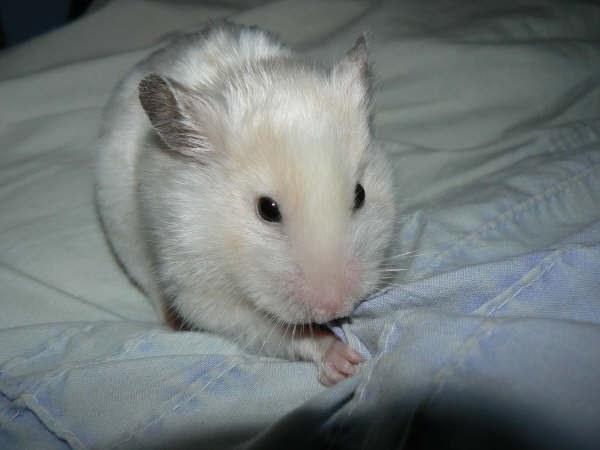 Photo: Sesebi - White Hamster