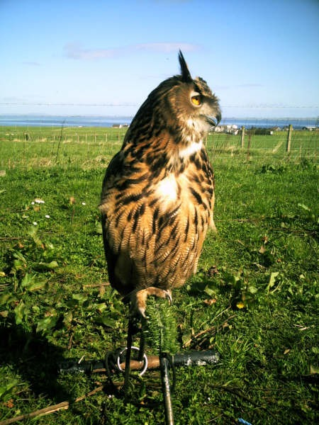 Photo: Majic European Eagle Owl