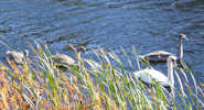 Forth and Clyde Canal - Swans