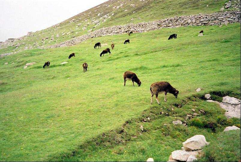 Photo: The Hardy Soay Sheep - St Kilda
