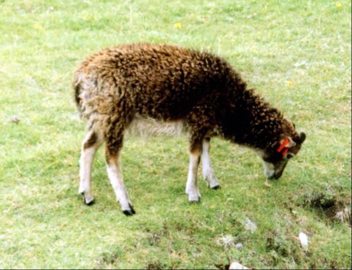 Photo: Soay Sheep - St Kilda