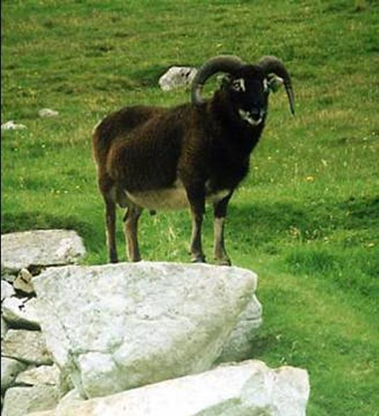 Photo: Soay Ram - St Kilda