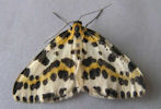Magpie Moth From www.caithnessmoths.org.uk