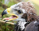 Golden Eagle Number One In Scotland Poll