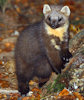 Pine Marten population recovering from Caithness to central belt of Scotland