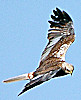 Marsh Harrier - photo from the Caithness biodiversity collection