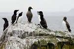 Razerbills and Guillemots