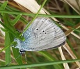 Small Blue Butterfly at Dunnet