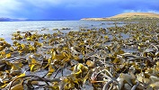 West Coast Kelp Beds